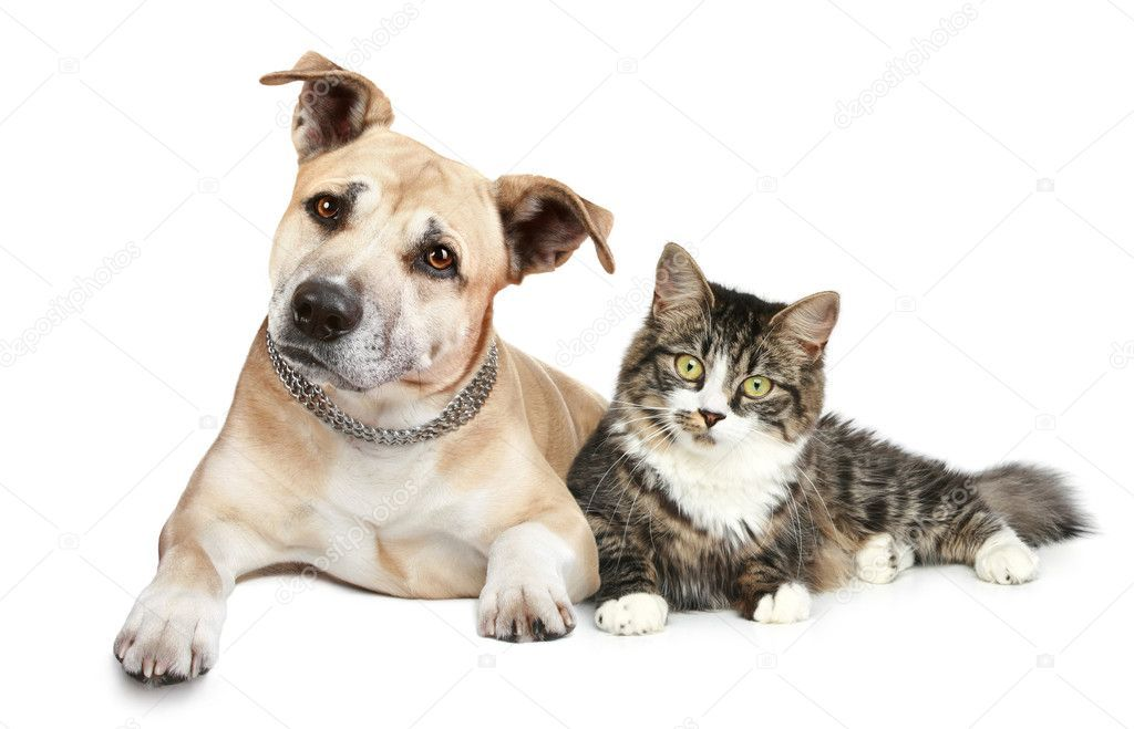 Staffordshire terrier puppy and cat Stock Photo ,
