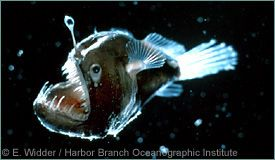 Deep Sea Angler (Melanocetus johnsoni) {!--심해아귀-->; Image ONLY