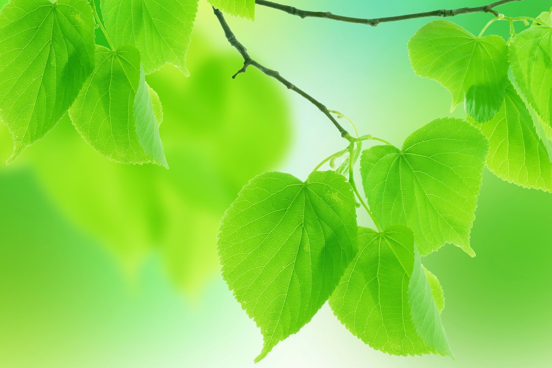 Very Green Green Leaf Wallpaper Leaf Wallpaper Green Leaves