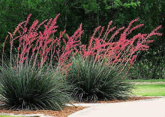 texas red yucca hesperaloe parviflora 25 desert seeds hummingbird favorite graceful form. Black Bedroom Furniture Sets. Home Design Ideas