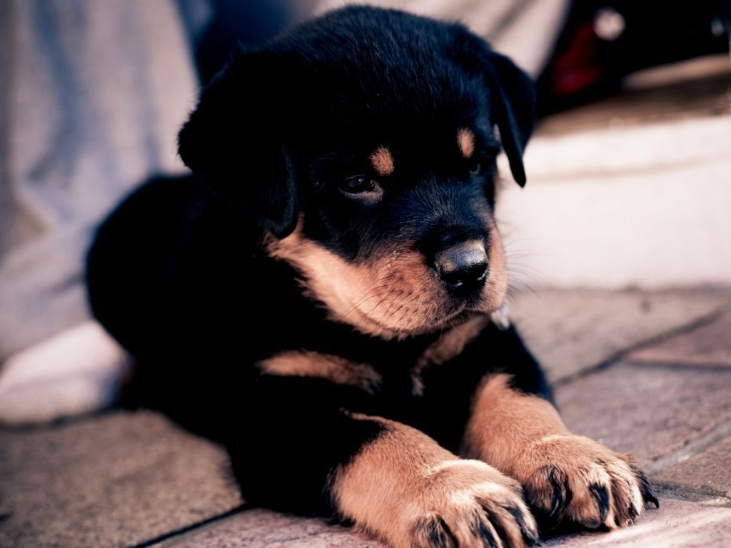 undefined Boxer Puppy Wallpapers (51 Wallpapers) | Adorable Wallpapers