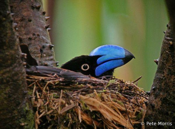 blue (bill) bird