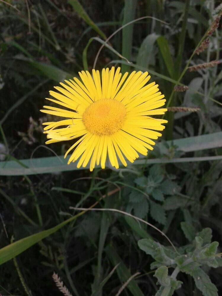 أزهار الس ك ب زكية الرائحة كما تسمى محلي ا مكة Plants