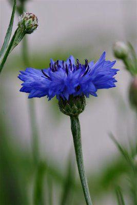 Those Northern Skies Things Things Things Unusual Flowers Pretty Flowers Botanical Flowers