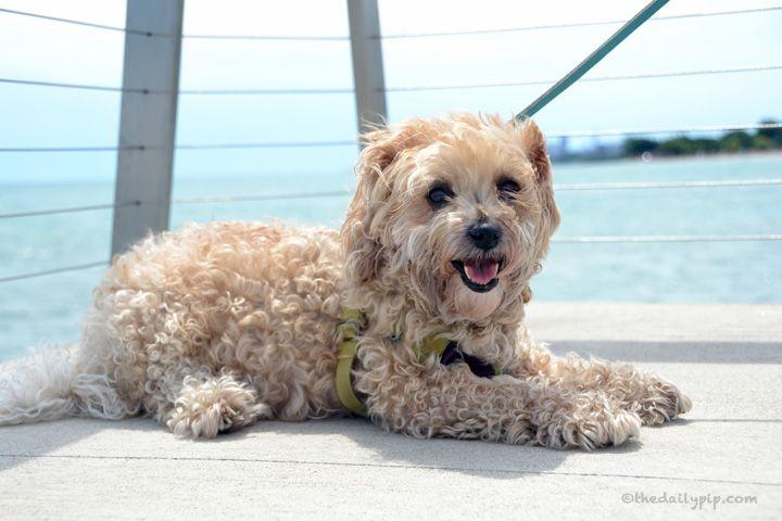 Rescued YorkiePoo enjoys Lake Michigan Rescue dogs
