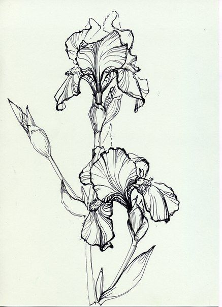 Line Drawing Iris Flower : Iris coloring page Сорочьи радости Пятница развлекушки
