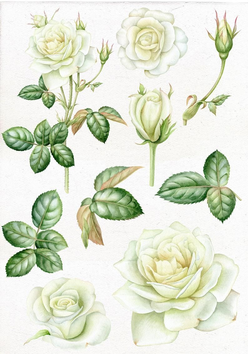 Watercolor White Roses Clip Art Hand Painted Wedding Vintage Rose Romantic Flowers And Leaves Clipart Commercial Use Individual Png Flower Drawing Rose Painting Roses Drawing