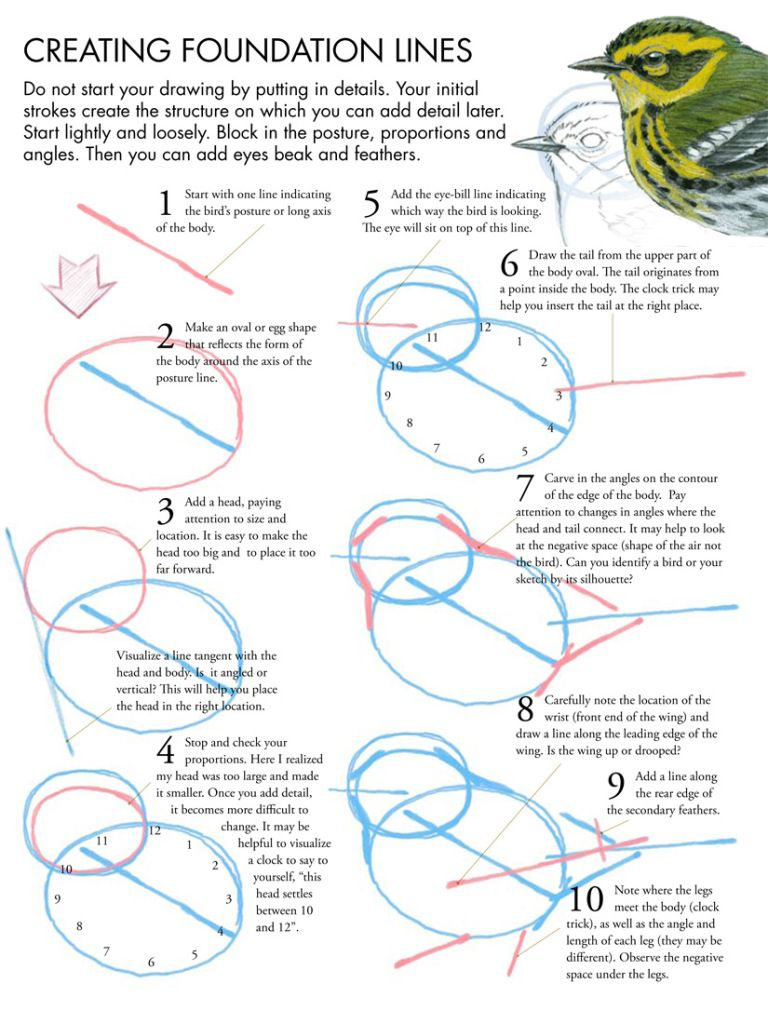 Bird Anatomy Drawing Step By Step Birds Animals Free Manual Guide