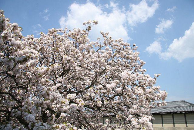 京都御苑 車還桜(くるまがえしさくら) 2009.04.12 /アンジュー フォトギャラリー