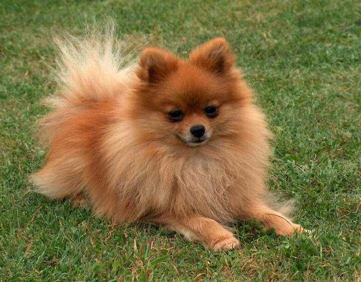 Red Pom! *** | Pomeranian | Dogs, Cute Dogs, Pomeranian