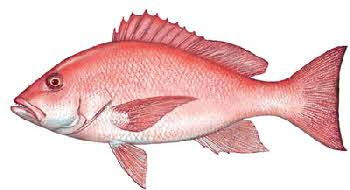 Snappers Lean Fish With Firm Texture White Meat With Mild Flavor Snapper Fish Saltwater Fishing Lures