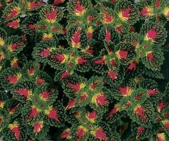 Strawberry Drop Coleus Plant Library Pahl's Market