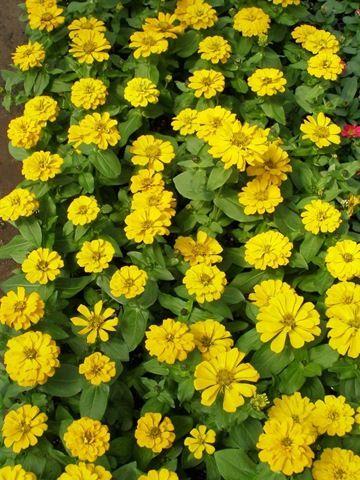 Yellow zinnia petals and plants pinterest zinnias garden yellow zinnia mightylinksfo Choice Image