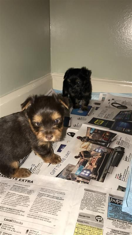 Ckc Yorkie Puppies Ckc Yorkie Puppies Born 11092017 Health