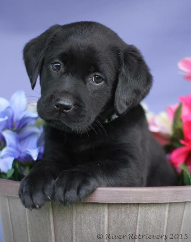 Co2islife On Twitter Cute Lab Puppies Cute Little Animals Cute Dogs