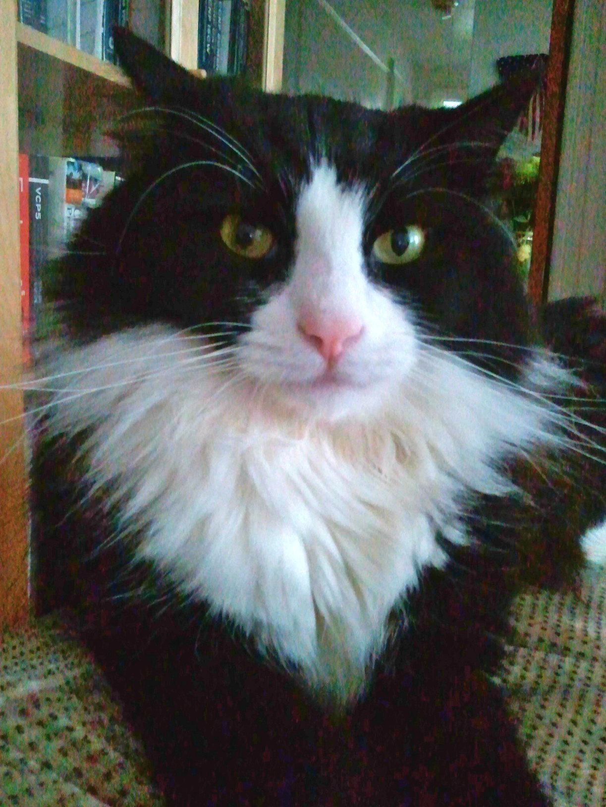 Pin By Che Nathrah On Tuxie Cats Norwegian Forest Cat