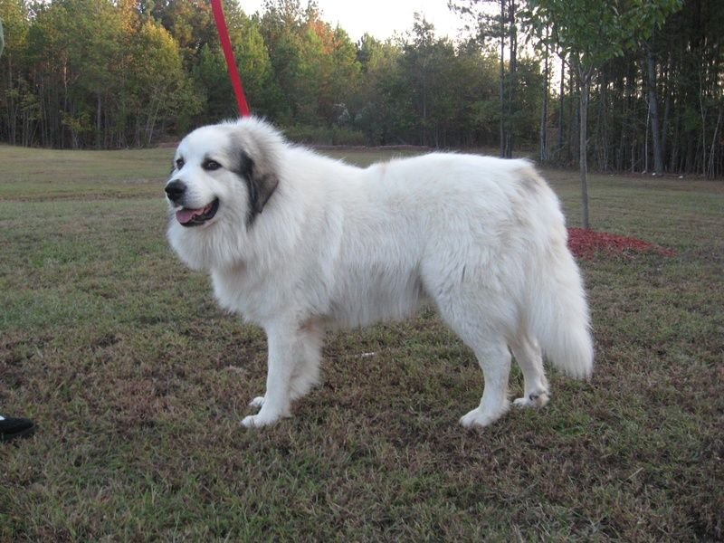 Our Breeding Dogs Rehoboth Farms Of North Carolina Llc Home Of