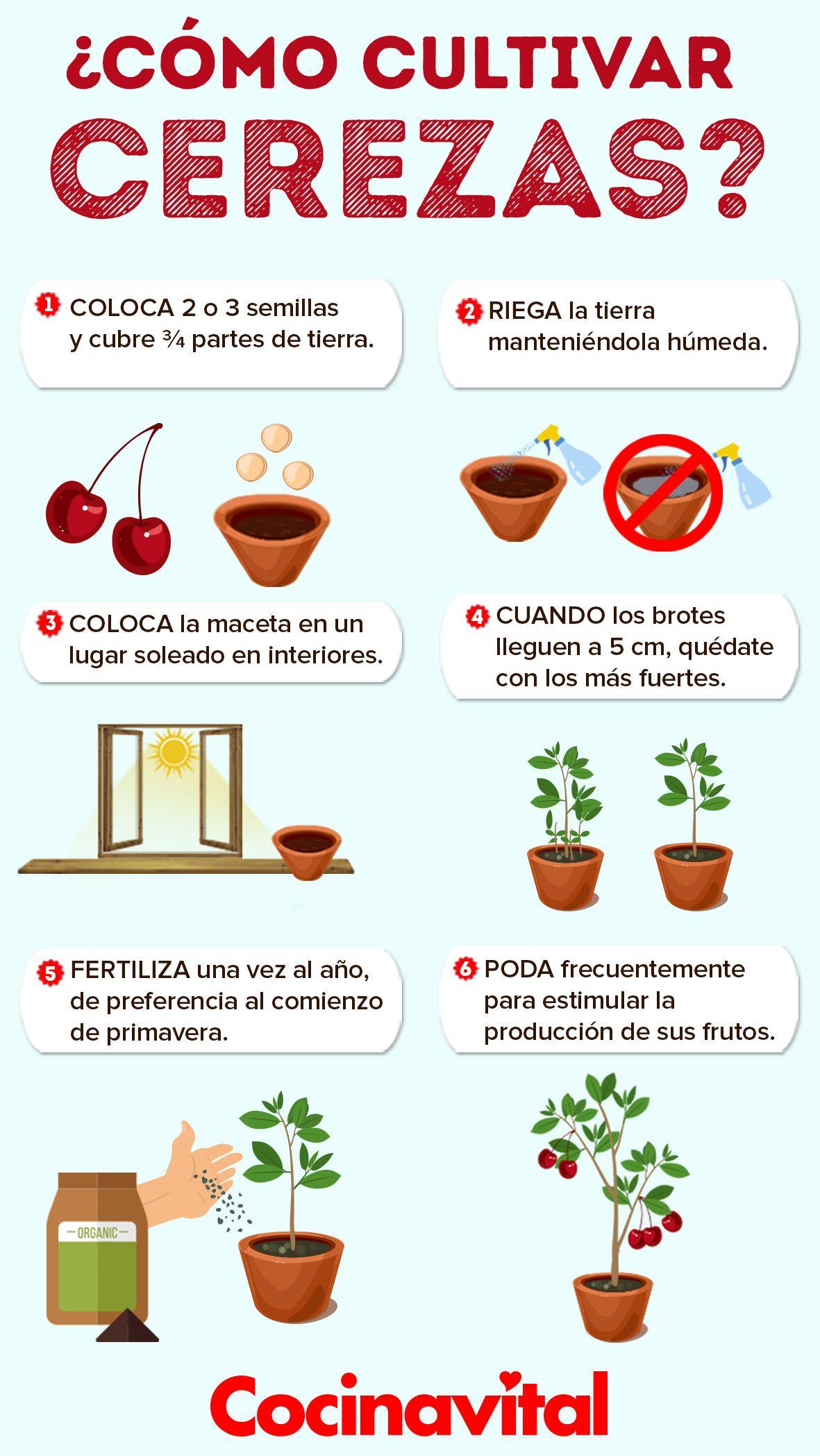 Cómo Cultivar Un árbol De Cerezas En Macetas Fácilmente Cocina Vital Qué Cocinar Hoy Cultivar Cerezas Cultivo De Plantas Jardín De Productos Comestibles