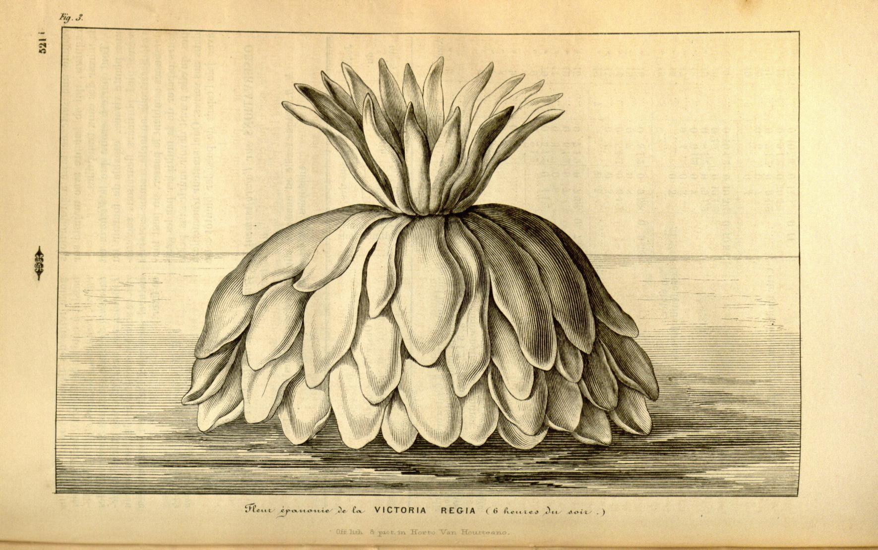 Fleur èpanonie de la Victoria Regia