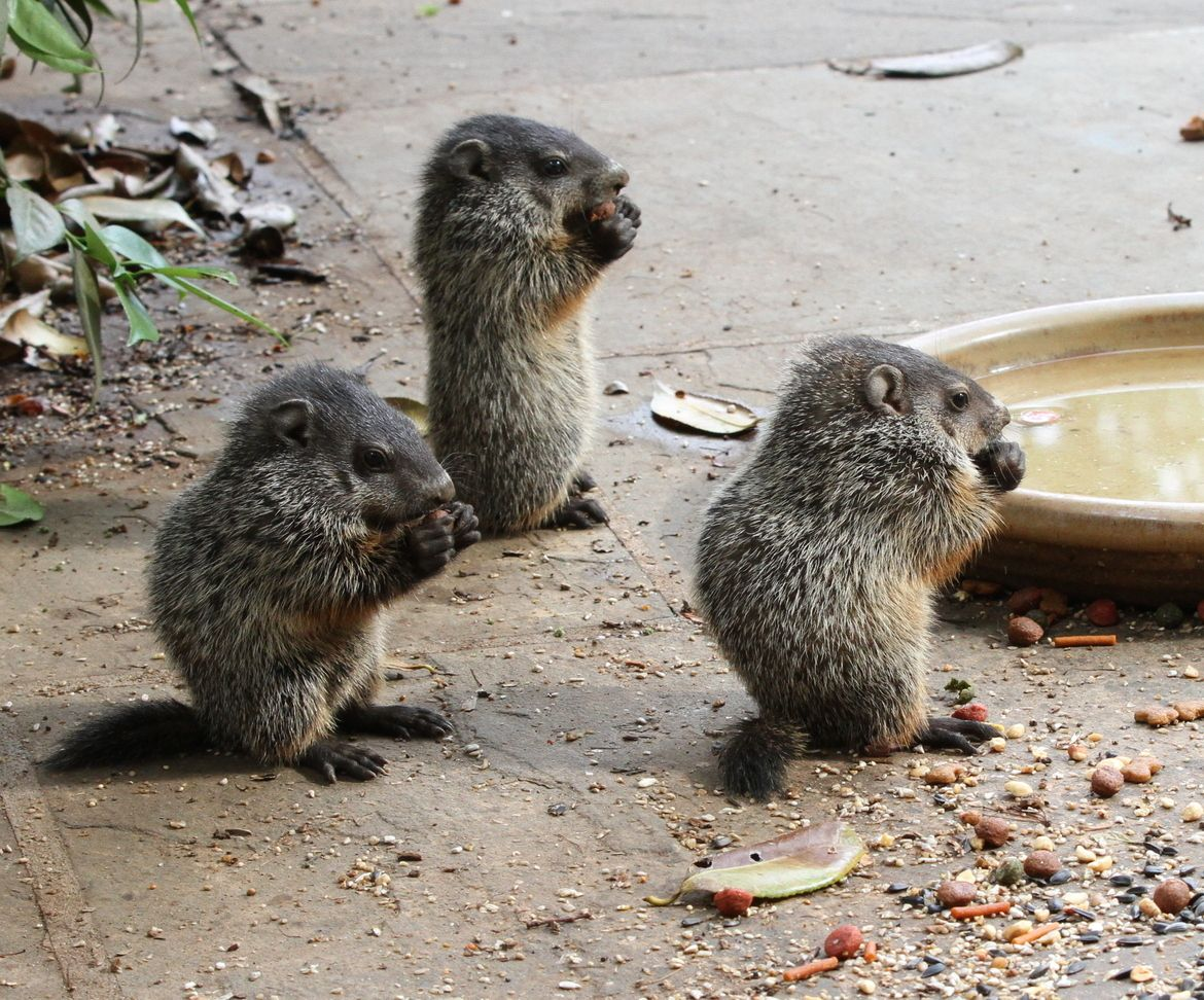 Baby Woodchuck | Cute baby groundhog! April 25, 2011 ...