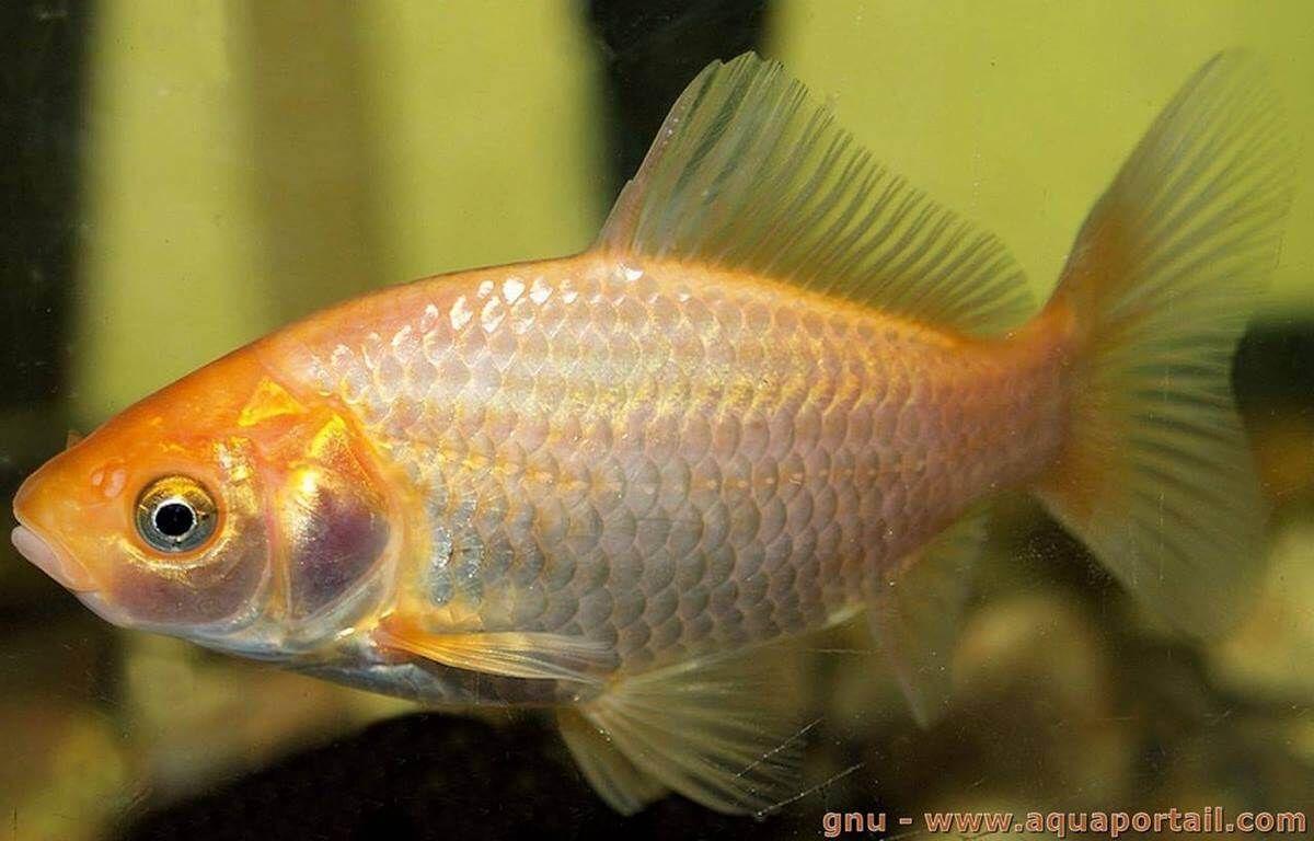 Poisson rouge aquarium alimentation reproduction for Aquarium poisson rouge eau