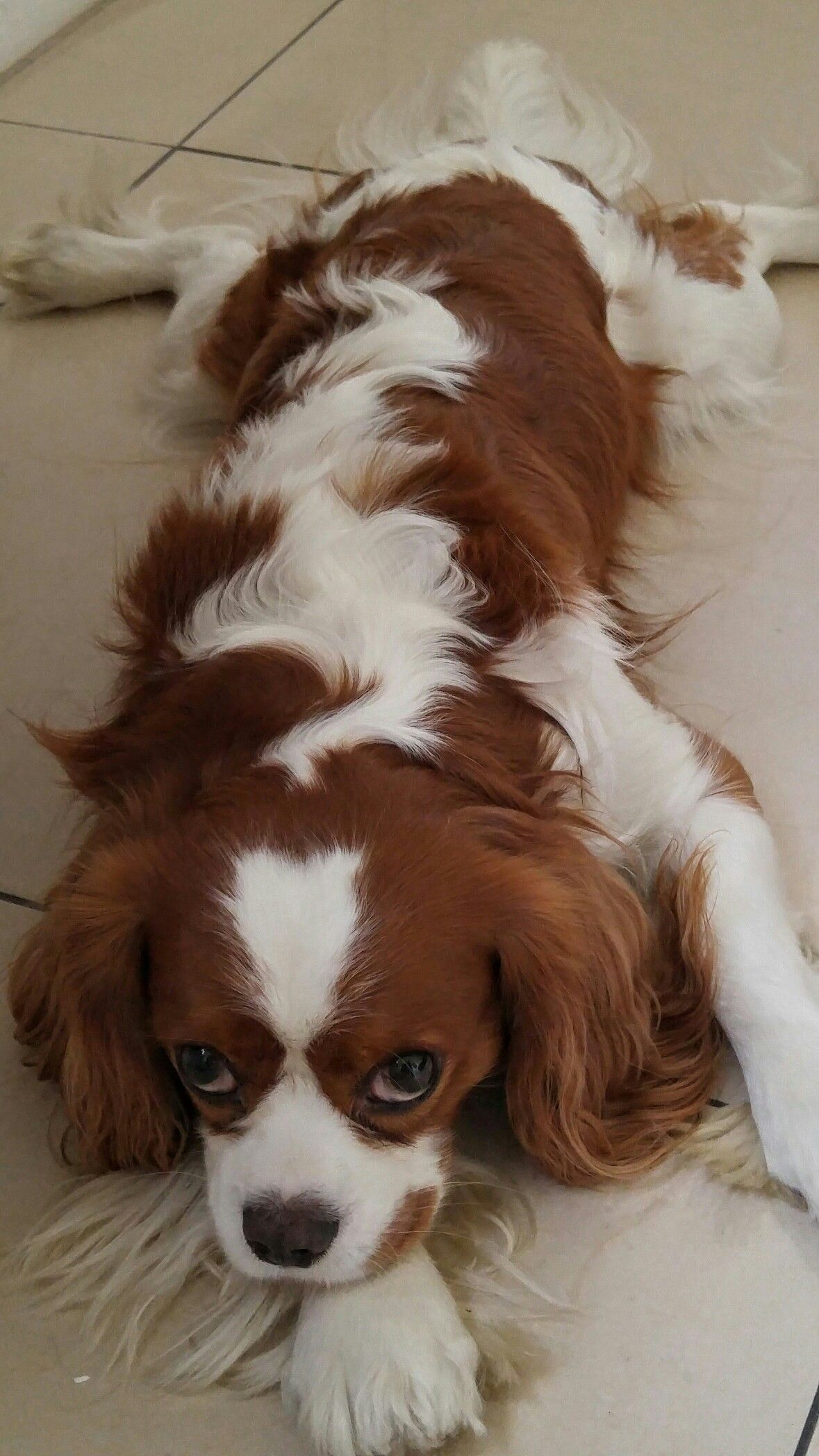 Download Charles Spaniel Brown Adorable Dog - 5115dcd0ae96fcf723cdf2d283b8678e  Best Photo Reference_431462  .jpg