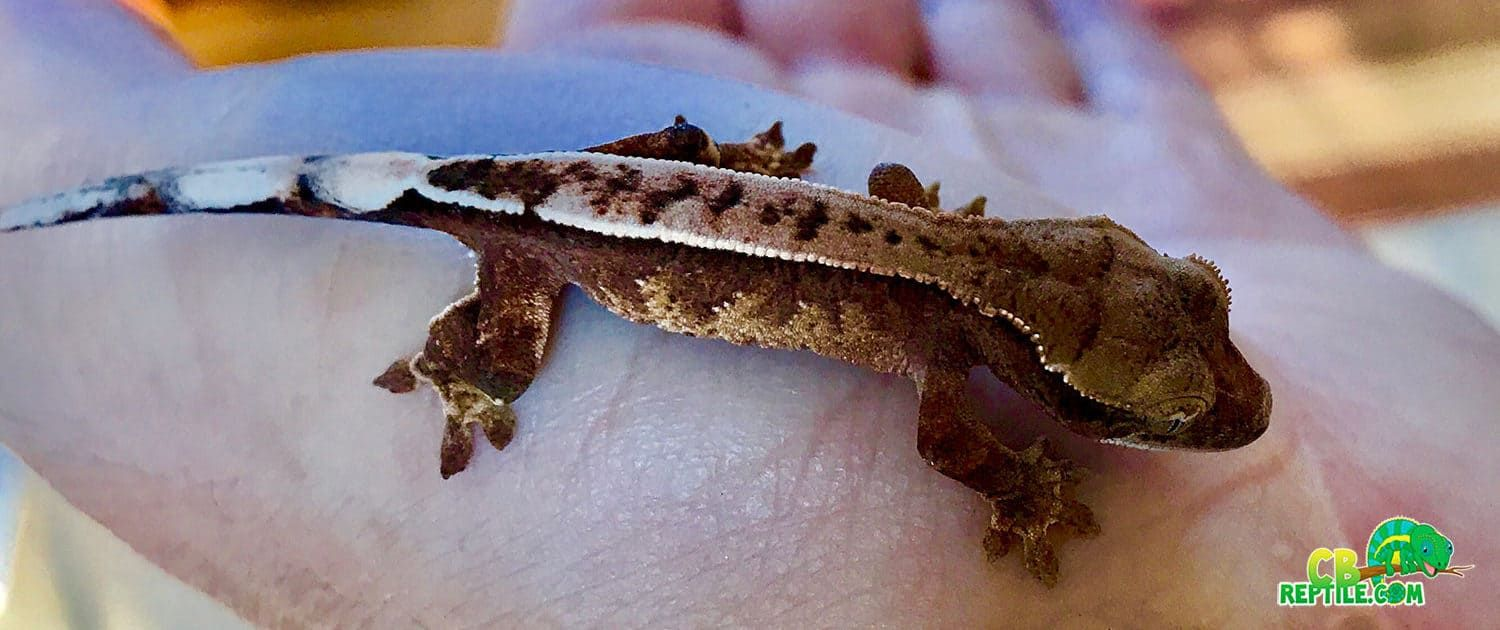 Chocolate Harlequin Crested Gecko For Sale Crested Gecko Gecko Pet Lizards
