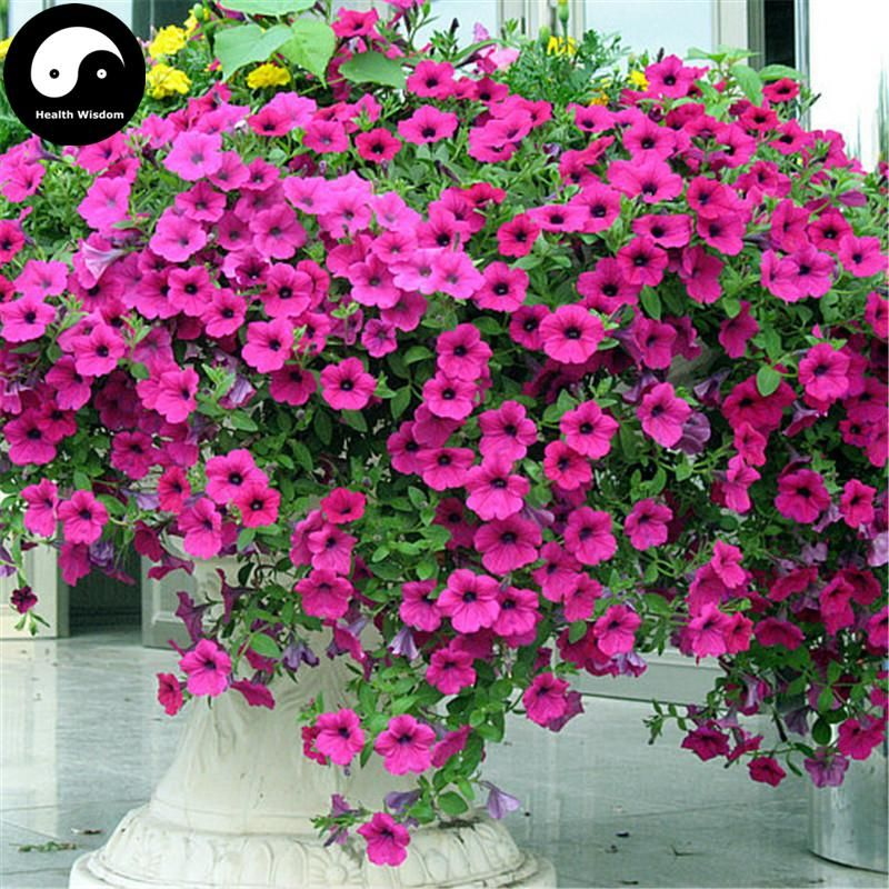 Buy Morning Glory Flower Seeds 120pcs Plant Pink Pharbitis