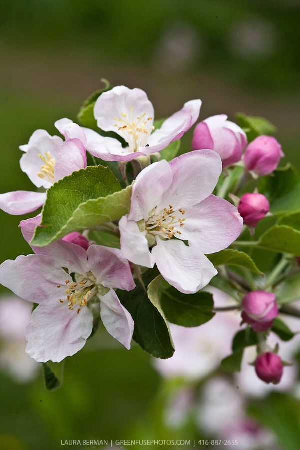 Pink And White Apple Blossoms On Apple Trees In An Apple Orchard In Spring Apple Tree Blossoms Apple Flowers Apple Blossom Flower