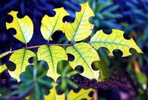 feuilles découpées par une megachile rotundata