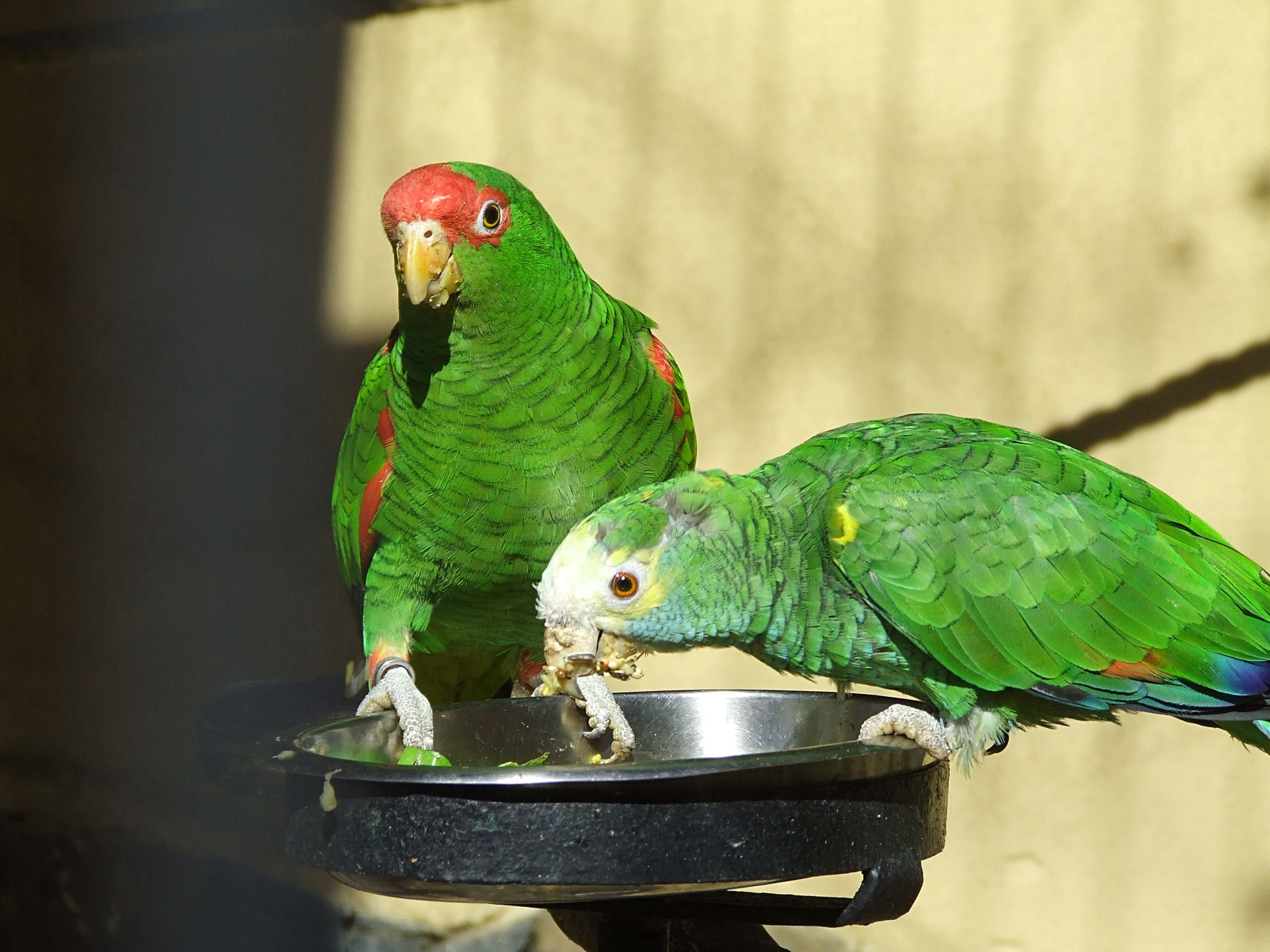 List Of Amazon Parrots Wikipedia The Free Encyclopedia