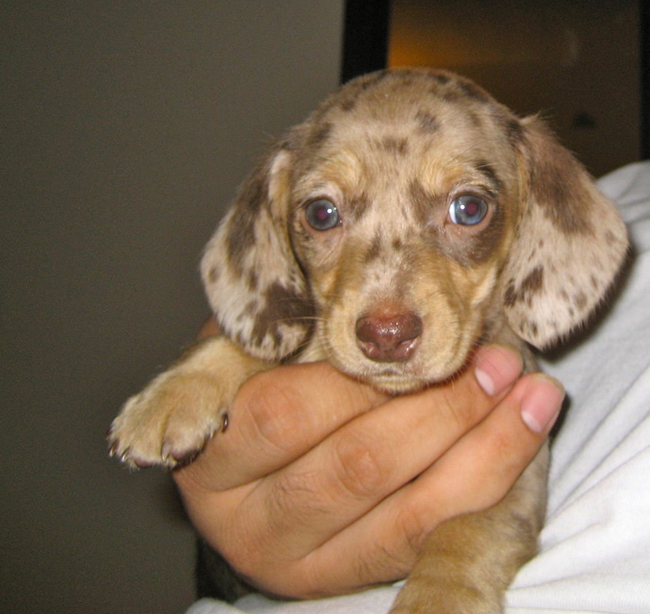 Miniature Dachshund Puppy Chocolate Dapple This Looked Like