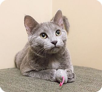 Russian Blue Kitten for adoption in Chicago, Illinois