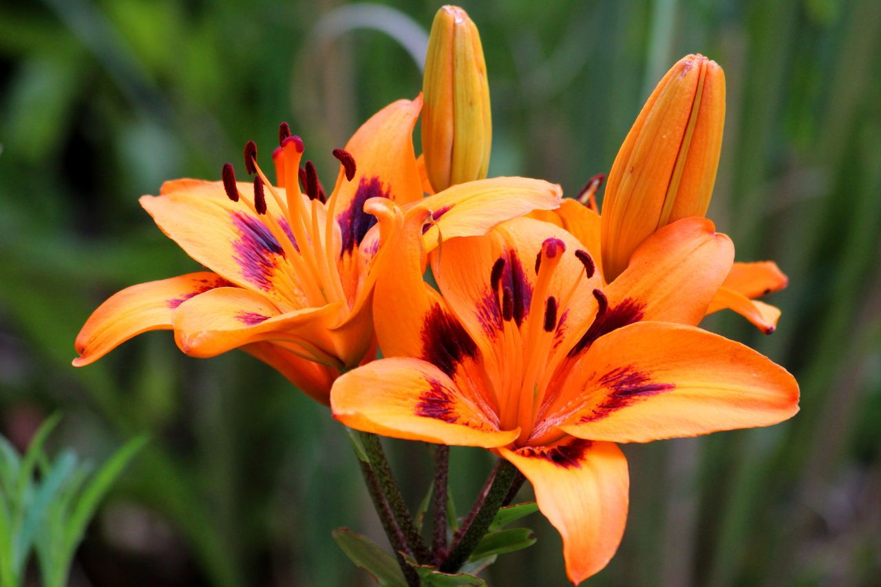 Orange tiger lily flowers in garden flowers pinterest lilies orange tiger lily flowers in garden izmirmasajfo