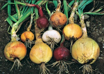 Video - Homegrown / Homemade: Onions. Includes how to plant, care, harvest, cure, caramelize and make a delicious meal of roasted onions stuffed with prosciutto and Parmesan. Watch it all here http://www.vegetablegardener.com/item/10863/homegrown-homemade-onions