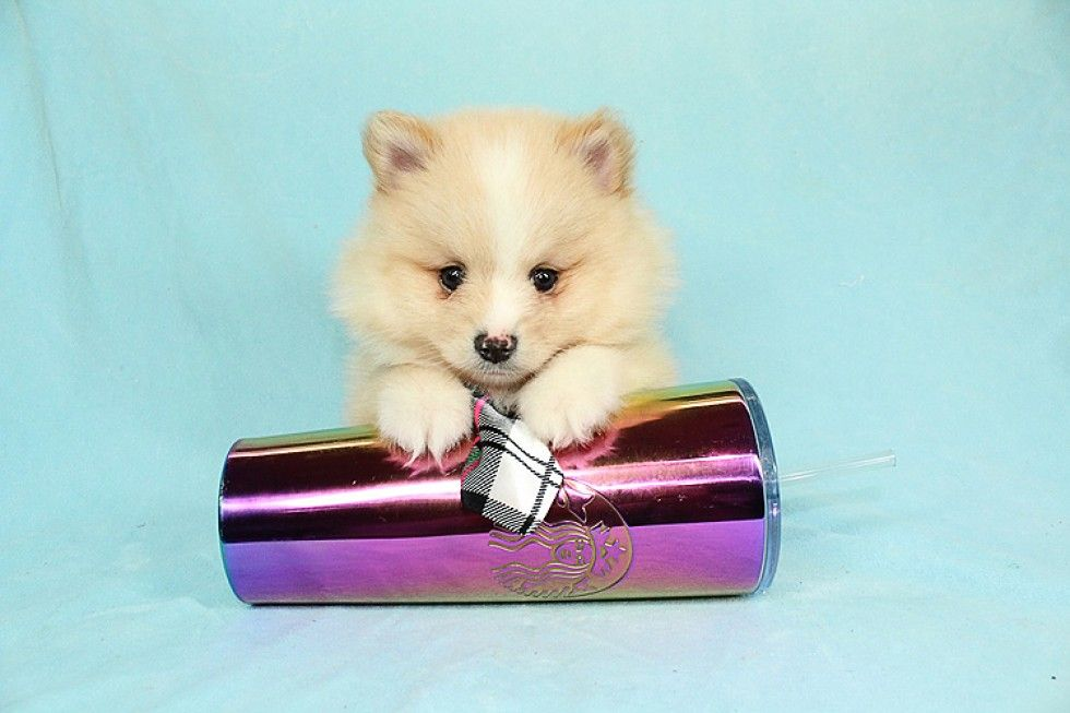 Teacup Puppies Available Puppy Heaven In 2020 Pomeranian Puppy Teacup Puppy Heaven Teacup Puppies