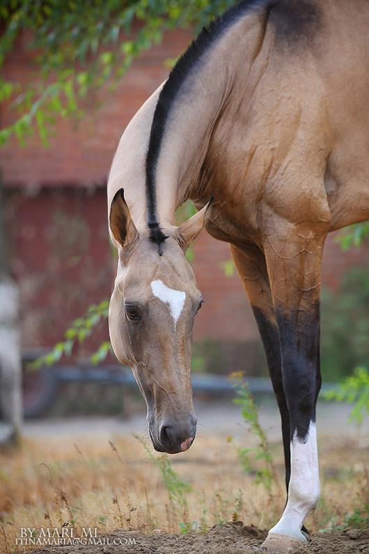 beautiful buckskin colouring, Quarter Horse