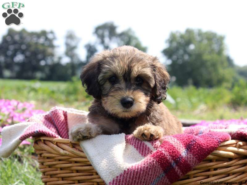 Darlene Whoodle Miniature Puppy For Sale In Pennsylvania