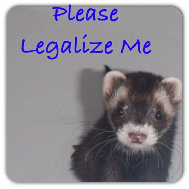 Ferrets Are Illegal In Dc California And Hawaii They Are Working On Making Them Legal In Nyc Ferret Cute Ferrets Cute Animals