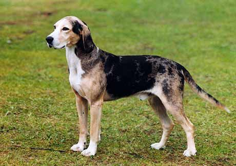 Dunker Hound Dunkerstovare Dog Breeds Every Dog Breed Pet Dogs