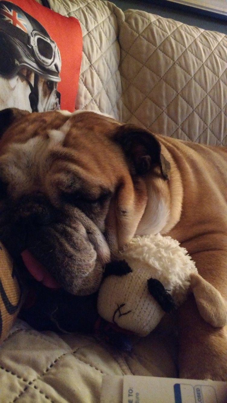 Loves her Lambchop! English Bulldogs Bulldog puppies