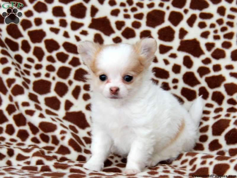 Winston Chihuahua Puppy For Sale From Ronks Pa Cute Chihuahua Chihuahua Lover Chihuahua Puppies