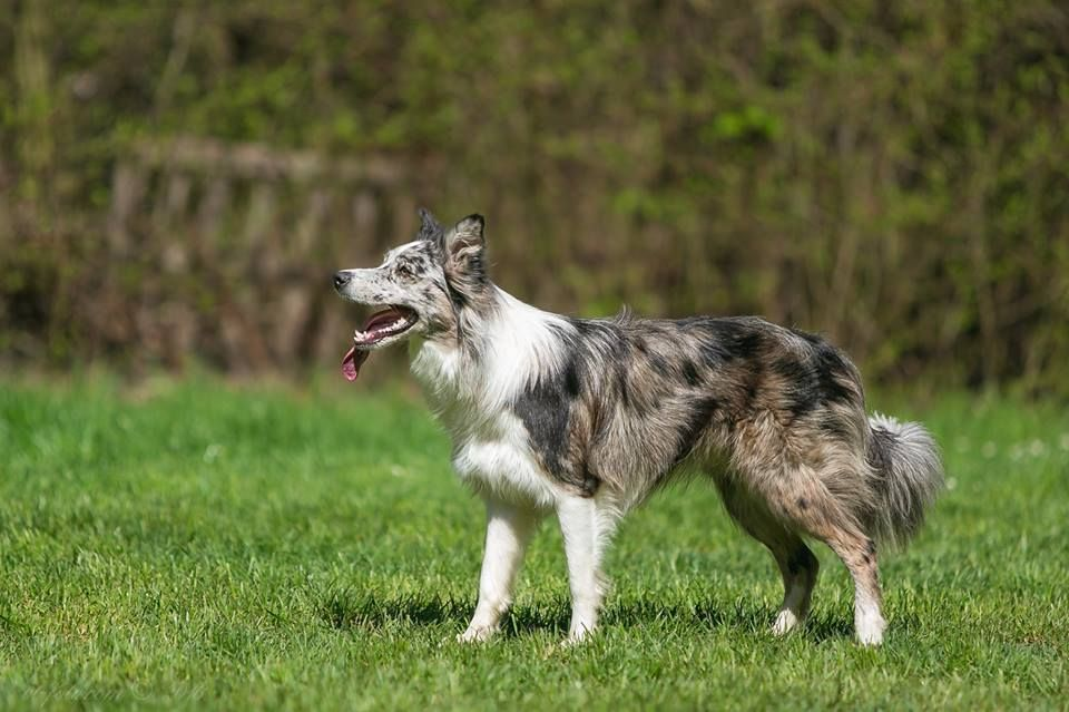 Seal Merle White Border Collie Border Collie Dogs