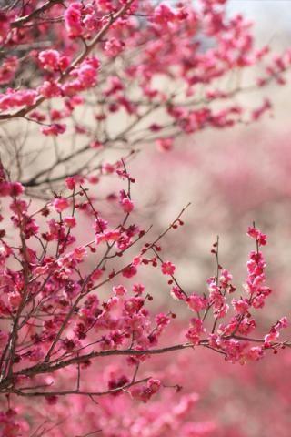 Sakura Falling Live Wallpaper Pink Cherry Blossoms Google Search Inspiration