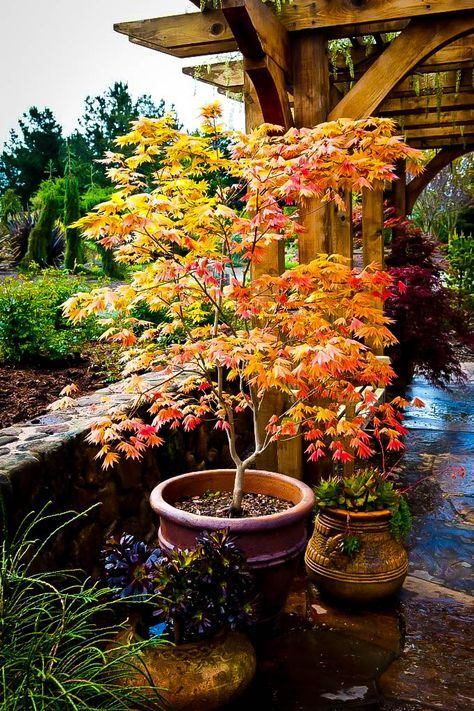 Autumn Moon Japanese Maple Japanese garden design, Asian