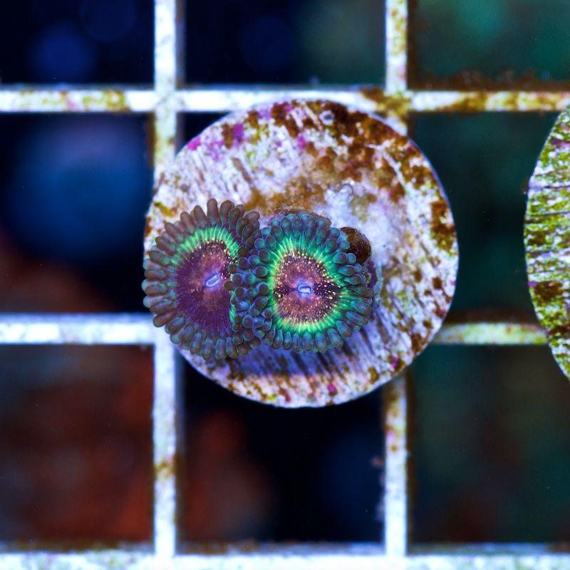 Hot Shots #2: Cherry Corals