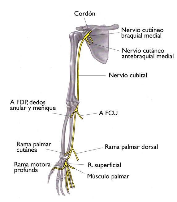 Esta ilustración de los huesos del hombro, brazo y mano muestra la ...