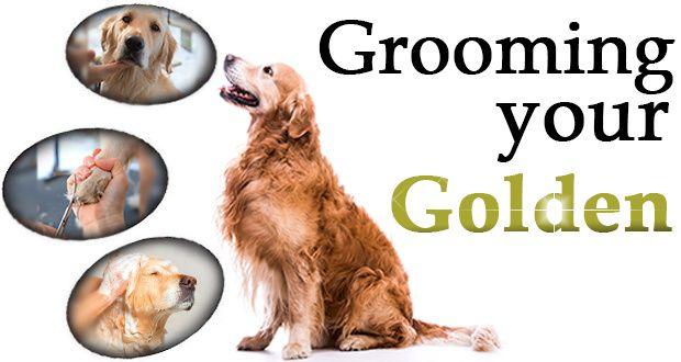 Golden Retriever Grooming What Tasks Need Doing Dogs Golden