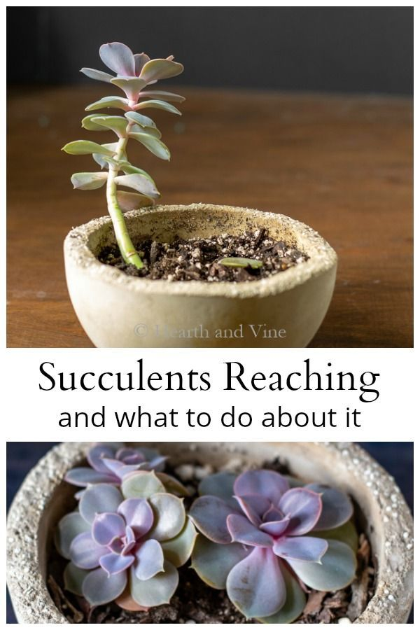 What to do When a Succulent Grows Tall and Leggy #succulents
