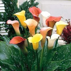 The Calla Lillies Are In Bloom Again